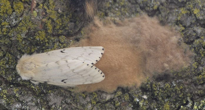 Gypsy moths have invaded North America. What can we do?